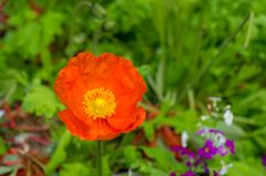 Bright orange poppy flower against green foliage on the backgrou. Nd. Nature background Royalty Free Stock Images