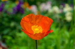 Bright orange poppy flower against green foliage on the backgrou. Nd. Nature background Royalty Free Stock Photography