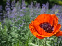 Bright Orange Poppy flower. With wildflowers blooming in the NY Botanical Garden Stock Images