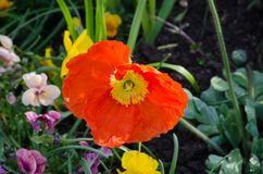 Bright Orange poppy style flower growing. In border Royalty Free Stock Photography