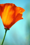 Bright Orange Poppy Stock Image