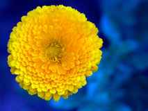 Bright orange pot marigold flower against blue. Calendula. Bright orange colour garden flower Royalty Free Stock Photos
