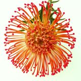 Bright orange Protea Leucospermum flower. A bright orange Protea Leucospermum flower also known as a nodding pincushion isolated on a white background Royalty Free Stock Image