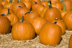 Bright Orange Pumpkin Patch Stock Photo