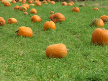 Bright orange pumpkins. In a green grassy field Royalty Free Stock Images