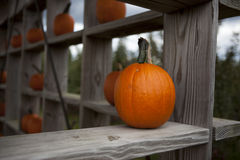 Bright orange pumpkins in a open barn this fall. Orange pumpkin on shelf in a open barn Royalty Free Stock Photography