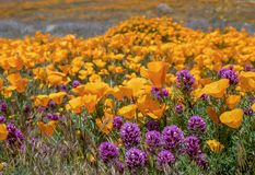 Bright orange and purple field of poppies and owls clover wildflowers royalty free stock photo