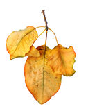 Bright orange quince leaf on white background Stock Photography