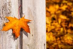 Bright orange with a red maple leaf on the background of the wooden planks. Of gray with brown colors, sunny autumn day in October, a beautiful day, a maple Royalty Free Stock Image