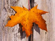 Bright orange with a red maple leaf on the background of the wooden planks. Of gray with brown colors, sunny autumn day in October, a beautiful day, a maple Royalty Free Stock Photography