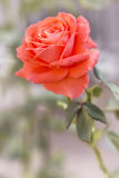 Bright orange rose on a flower bed on a sunny summer day. Colorful natural soft background stock images