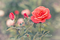 Bright orange rose on a flower bed. On a sunny summer day, colorful natural toned background Stock Images