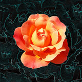 Bright orange rose. Orange rose shining on a dark background Royalty Free Stock Photography