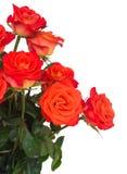 Bright orange  roses close up Royalty Free Stock Photos