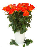 Bright orange  roses in vase Royalty Free Stock Images