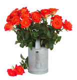 Bright orange  roses in watering can Royalty Free Stock Image