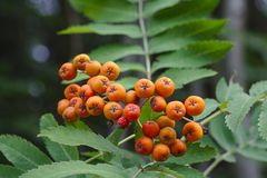Bright orange rowanberries with green leaves in the background. Bright orange rowanberries with lush green leaves in the background royalty free stock image