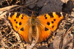 Bright orange spring butterfly with open wings against the background of last year`s foliage. Wild Animals stock photography