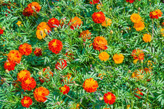 Bright orange tagetes marigold flowers. In a flower bed Royalty Free Stock Photography