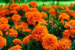 Tagetes patula flowers. Bright orange tagetes patula flowers royalty free stock photos