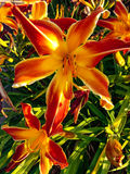 Bright orange tiger Lilly. Vibrant tiger Lilly flower in full bloom Stock Photo