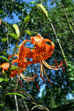Bright orange tiger Lily on background of sky and trees royalty free stock photo