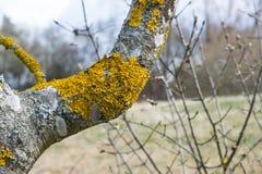 Bright Orange Tree Moss Outdoors Nature Wildlife Closeup Texture. Common Royalty Free Stock Image