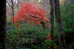 Bright orange tree in predominately green forest. A bright orange tree in a predominately green rhododendron forest in the fall of the year in the Blue Ridge Royalty Free Stock Photography