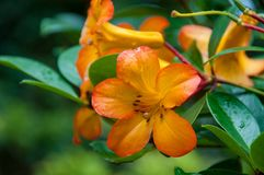 Bright orange tropical exotic flower. Nature background Royalty Free Stock Image