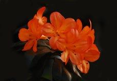 Bright Orange Trumpet Flowers. Bright Orange colored Trumpet shaped  Flowers Royalty Free Stock Photo
