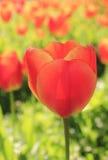 Bright orange tulip blossom Stock Images