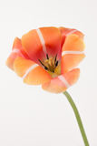 Bright orange tulip Royalty Free Stock Photo