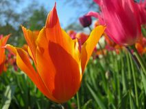 Bright Orange Tulip up close in front of Pink tulip royalty free stock photos