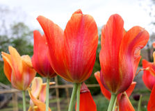 Bright orange tulips with green stems. A group of orange tulips Stock Images