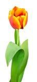 Bright orange tulips Royalty Free Stock Images