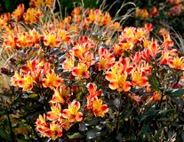 Bright orange and yellow flowering shrub. stock photography