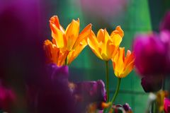 Bright orange yellow and purple pink colored tulips in the sunlight in spring in front of a green background. Bright orange yellow and purple pink tulips in the Stock Image