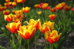 Bright orange yellow tulips in the sunlights on the first spring days royalty free stock photos