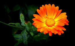 Bright orange zinnia or daisy flower Stock Photos