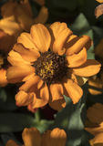 Bright orange Zinnia profusion. A bright orange Zinnia profusion glows in the bright sunlight. Zinnia is a genus of plants of the sunflower tribe within the stock photos
