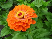 Bright orange zinnia with yellow stamens Stock Images