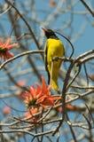Bright Oriole bird. Yellow Oriole bird on orange flowering Acacia Branch Stock Images