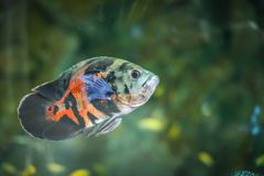 Bright Oscar Astronotus ocellatus in their habitat. spotted colorful fish in an aquarium. Bright Oscar Astronotus ocellatus in their habitat. spotted colorful royalty free stock photos