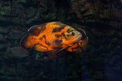 Bright oscar fish floating. Bright oscar fish floating in aquarium. Astronotus ocellatus royalty free stock photo