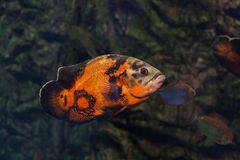 Bright oscar fish. Bright oscar fish floating under the water stock photography
