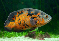 Bright Oscar Fish underwater. Bright Oscar Fish - South American freshwater fish from the cichlid family, known under a variety of common names including oscar Royalty Free Stock Photo