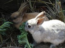 Bright pair of brown and white baby bunnies, British Columbia, Canada, 2018. Bright pair of brown and white bunny rabbits feeding together, British Columbia stock photos