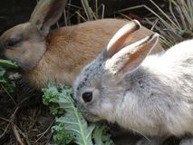 Bright pair of brown and white baby bunnies, British Columbia, Canada, 2018. Bright pair of brown and white bunny rabbits feeding together, British Columbia royalty free stock image