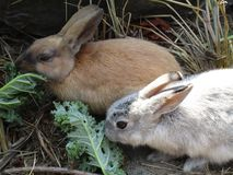 Bright pair of brown and white baby bunnies, British Columbia, Canada, 2018. Bright pair of brown and white bunny rabbits feeding together, British Columbia stock images