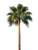 Bright palm tree isolated on white royalty free stock photo